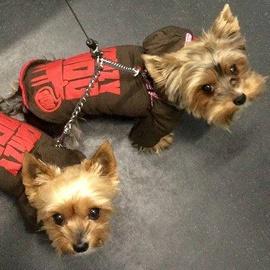 Dva yorkšíři v zimních bundách od FMD