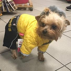 Yorkšír v psím oblečku