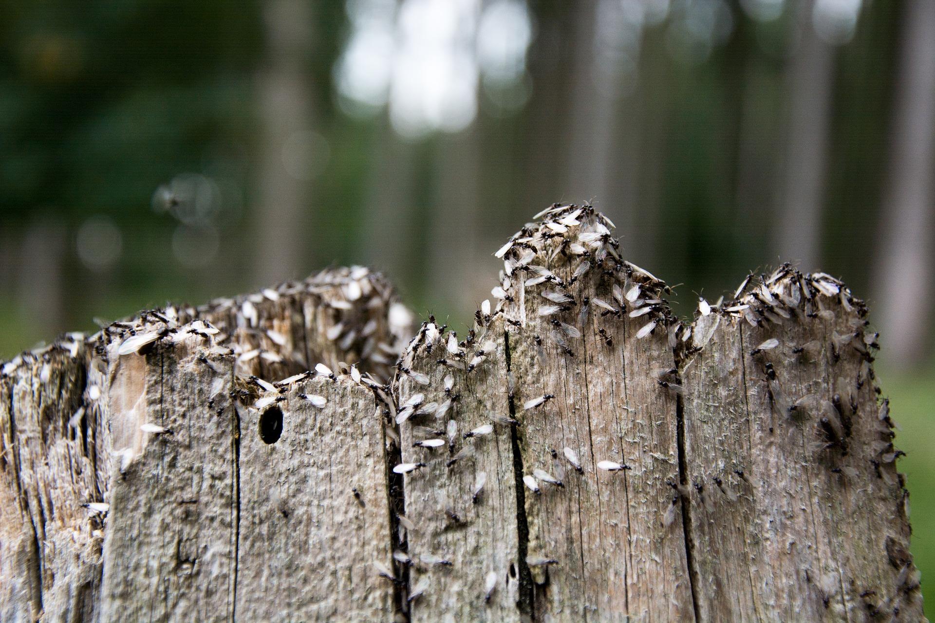 Kde a jak získat mravence? (Odchyt královny)