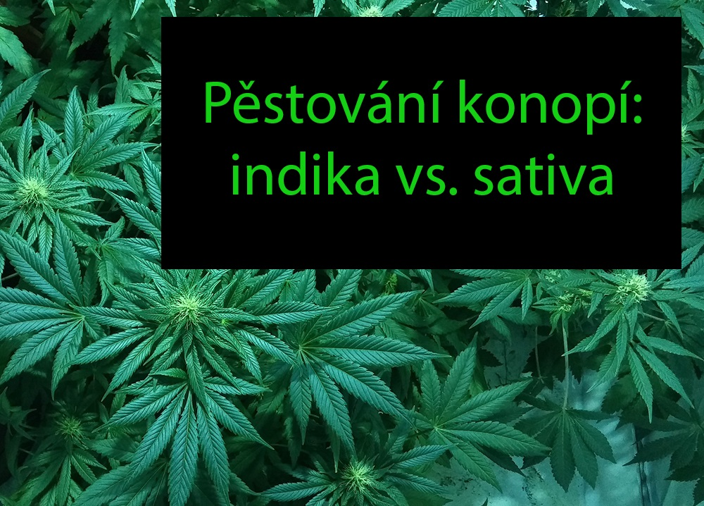 Pěstování konopí - rozdíl mezi konopí rodu indika a sativa