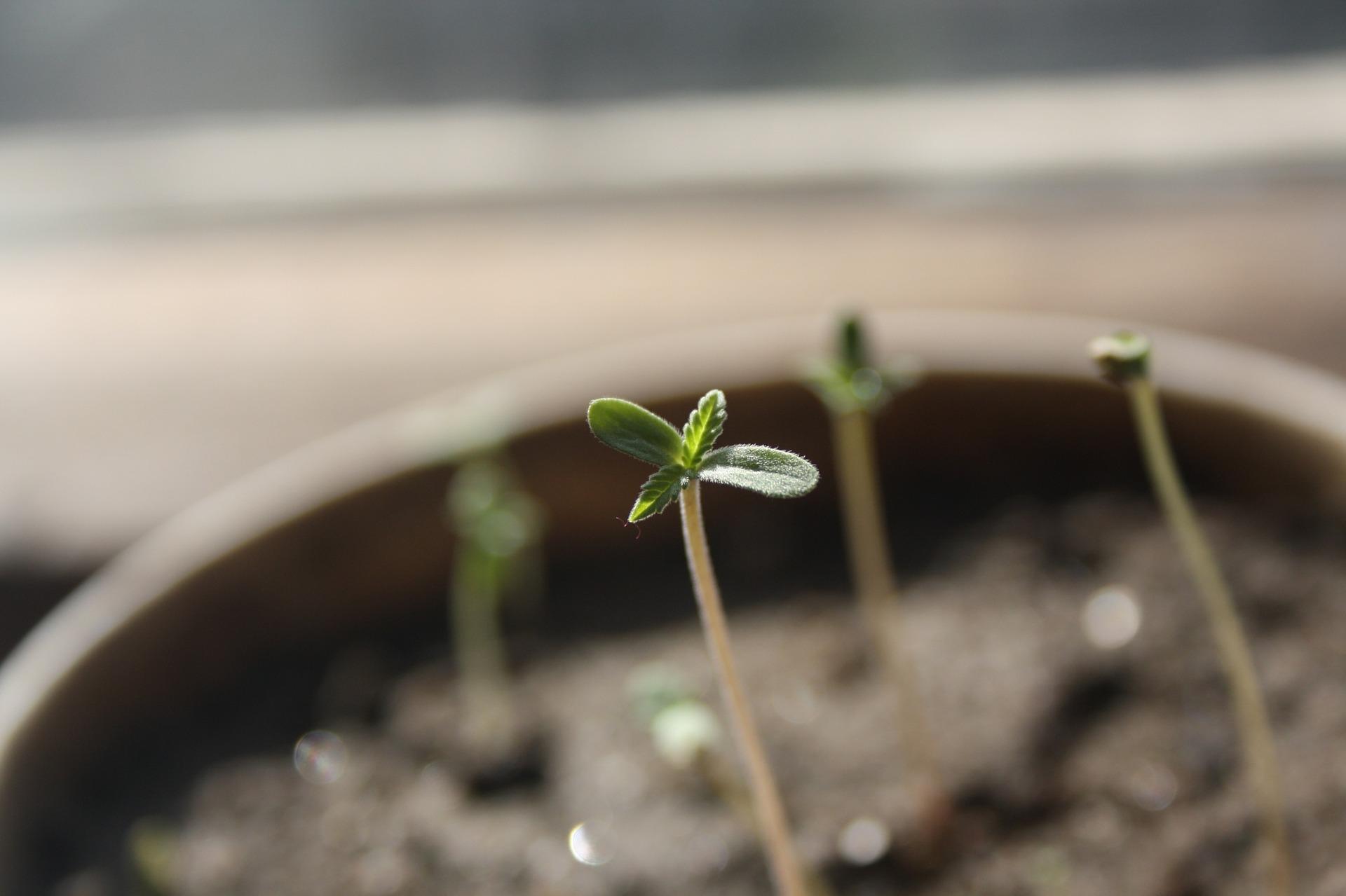 Pěstování konopí: Jak naklíčit semena marihuany