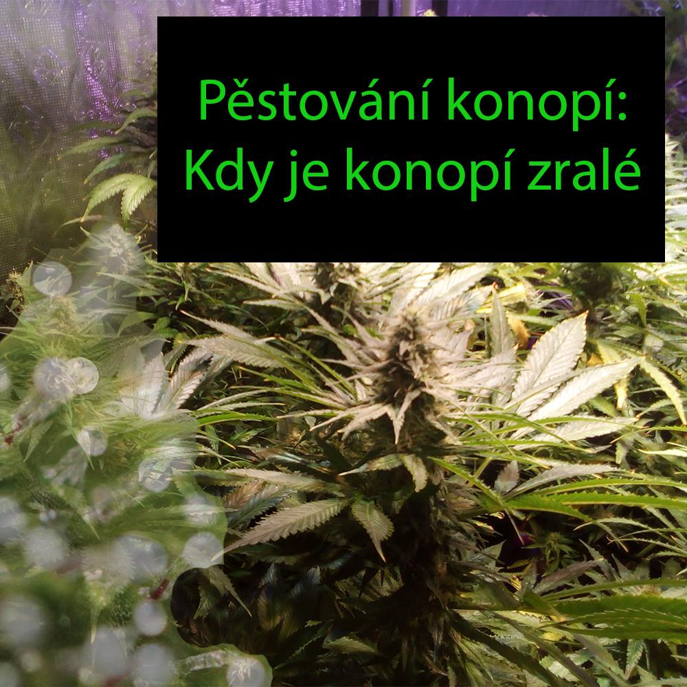 Pěstování konopí - Kdy je ten správný čas ke sklizení marihuany