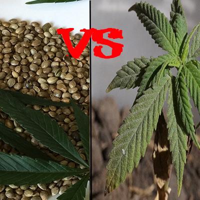 Pěstování konopí: Rozdíl mezi semeny a sazenicemi konopí