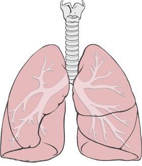 Dýchací cesty, průdušky a plíce