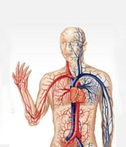 Srdcovo cievny systém