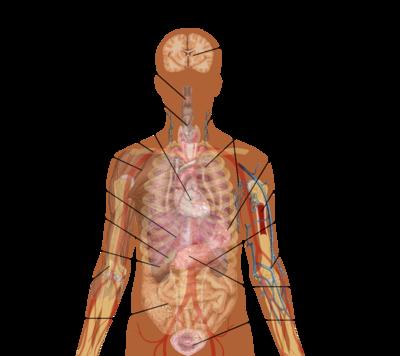 Vnútorné orgány