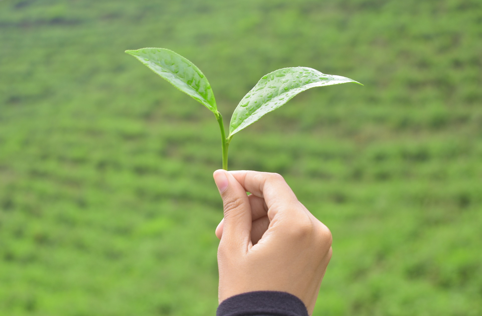 Facts You Must Know About Your Green Tea