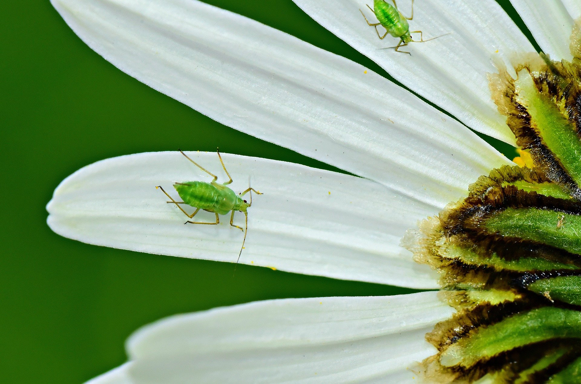 aphid-4243855_1920