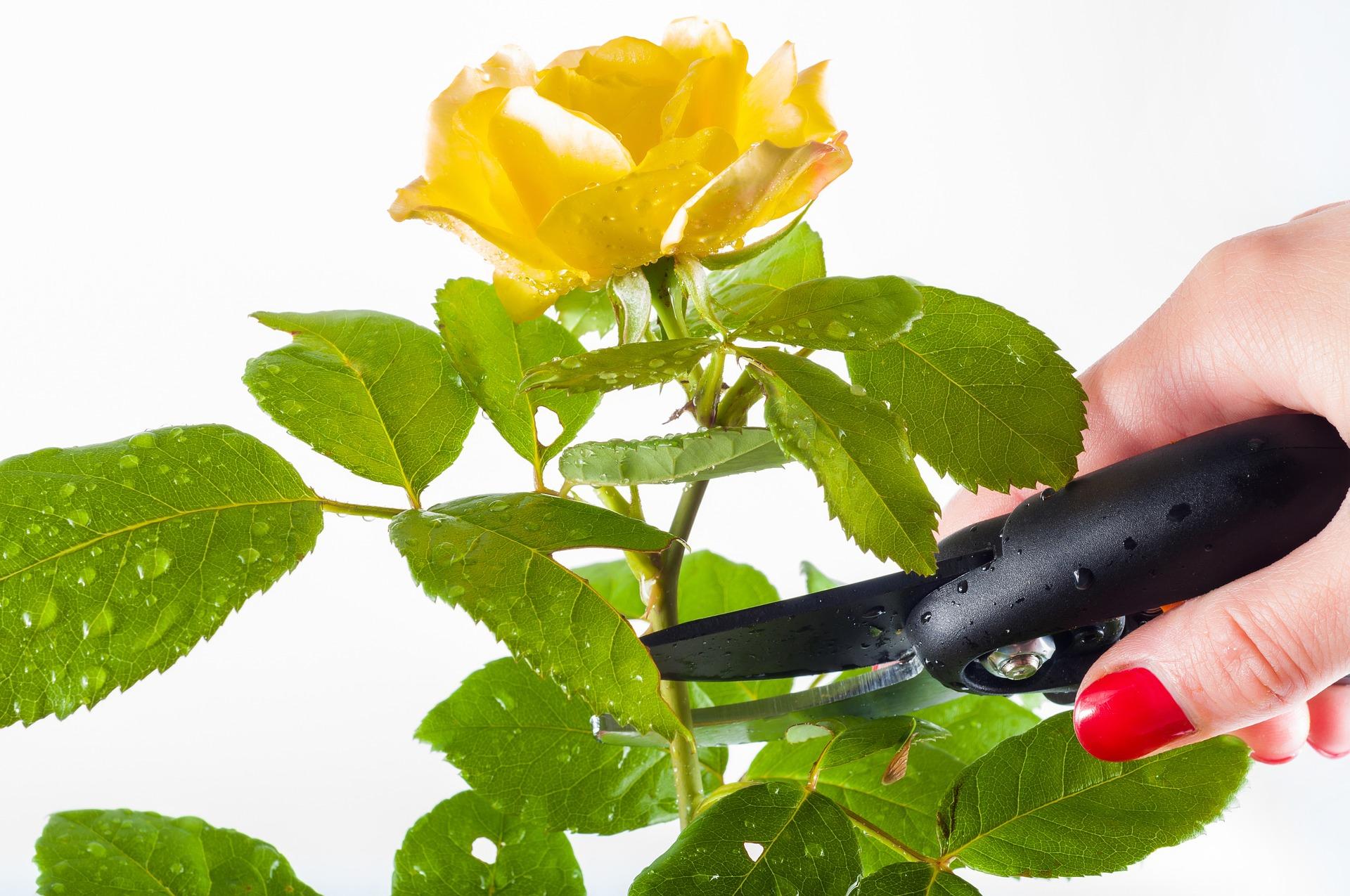 rose-1744950_1920
