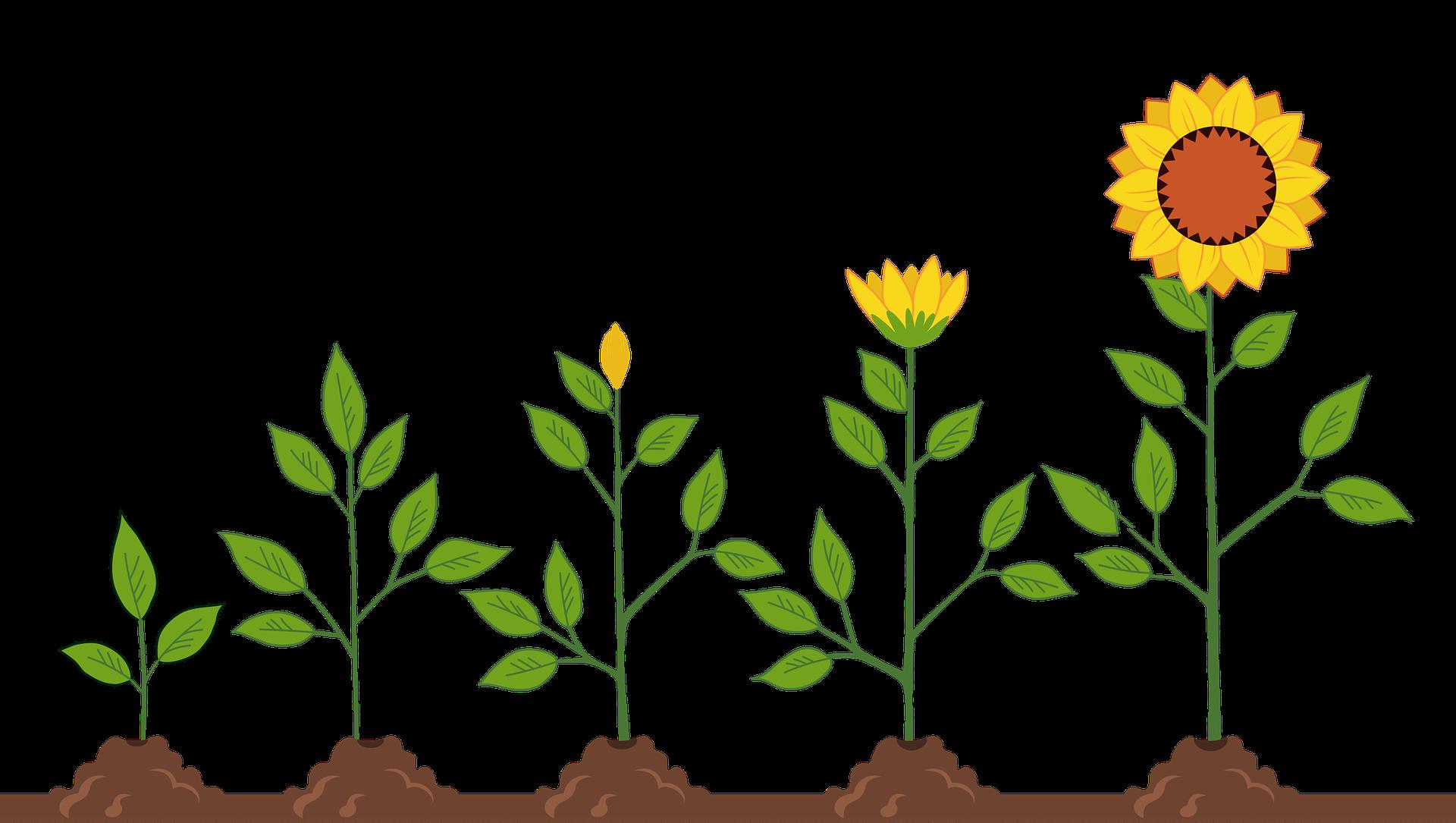 sunflowers-5665223_1920