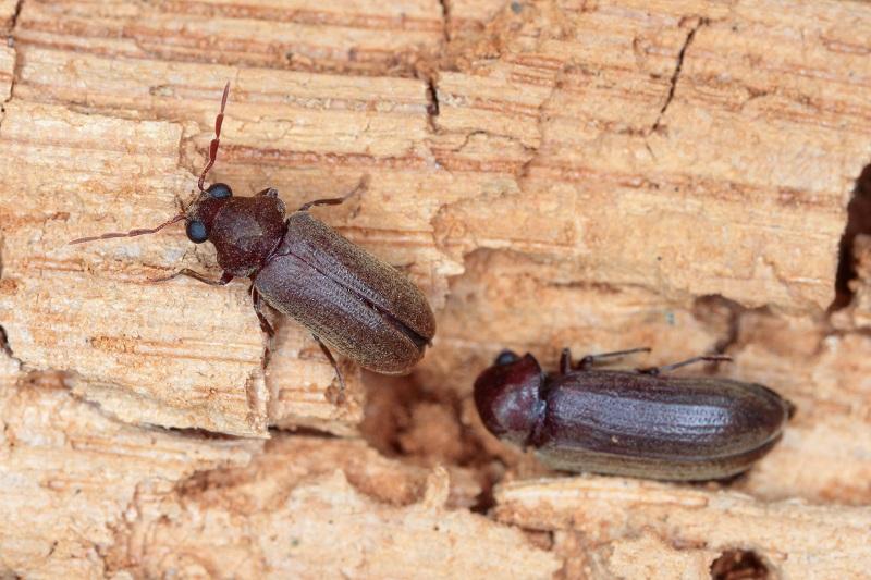 Poznáte dřevokazný hmyz v nábytku? Zjistěte, jak s ním zatočit – 1. díl