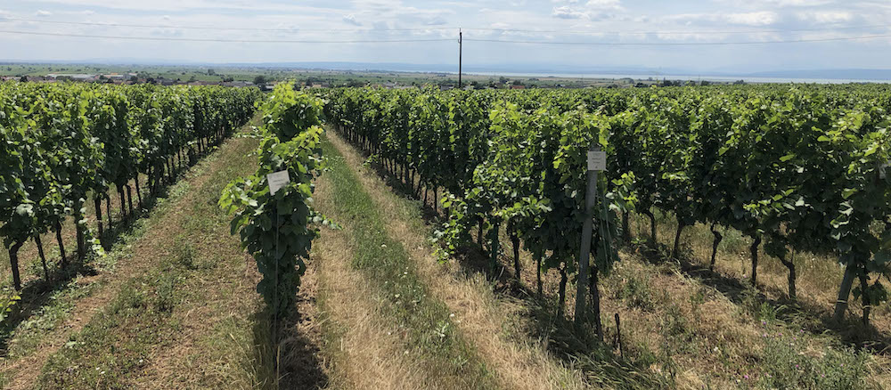 gols wineyard