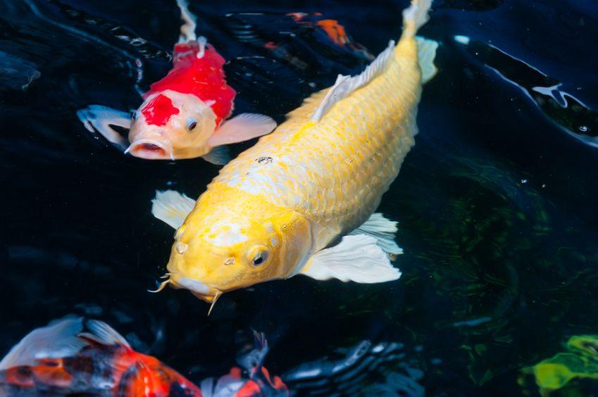 Aké je najlepšie krmivo pre ryby a ako mať zdravé ryby v záhradnom jazierku?