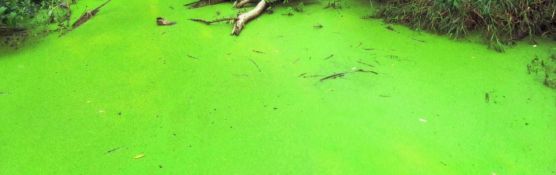 Zelená voda v jazierku