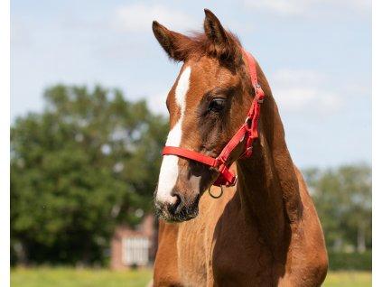 Hříběcí ohlávka Foal QHP, red