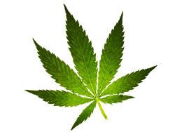 Konopí (Cannabis)