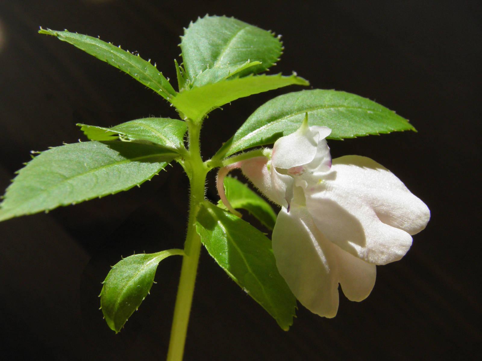 Kajeput střídavolistý (Melaleuca alternifolia Cheel, 1924) Tea tree