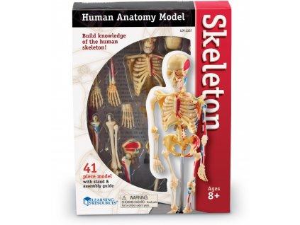 anatomicky model lidske kostry