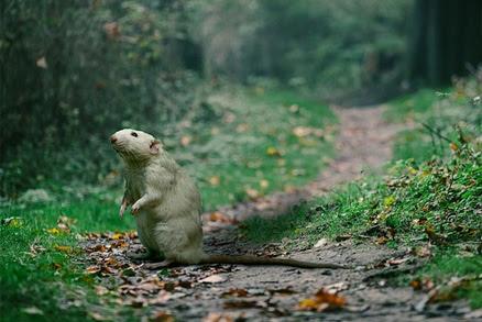 Jaký je rozdíl mezi krysou a potkanem aneb maličkosti, na kterých záleží při jejich zbavování.