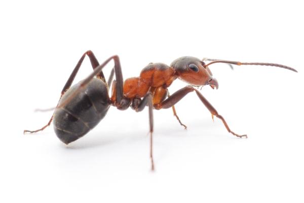 Hubení mravenců