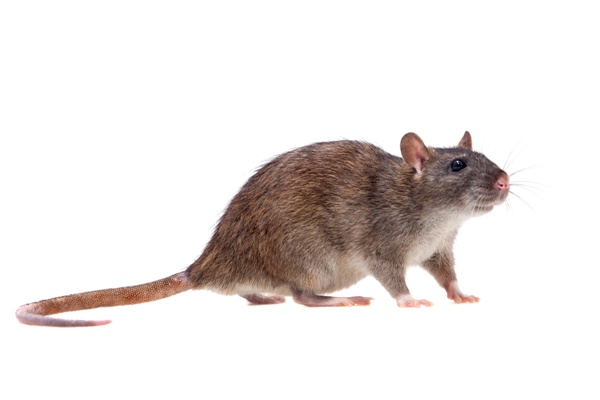 Hubení potkanů