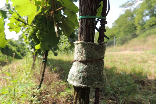 Plstěný pás a dravými roztoči typhlodromus pyri připevněný na kmínku révy.