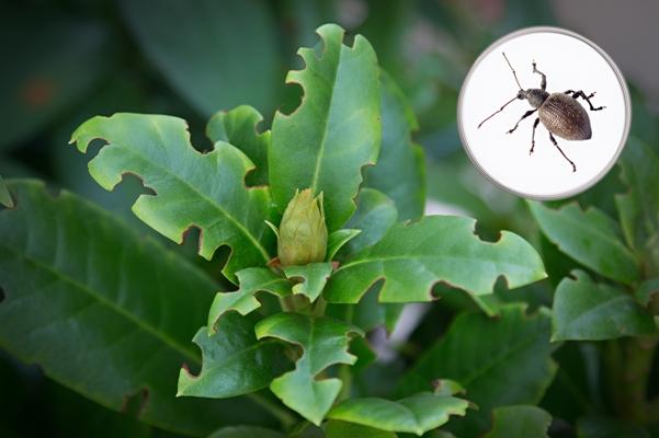 Listy rododendronu okousané lalokonoscem
