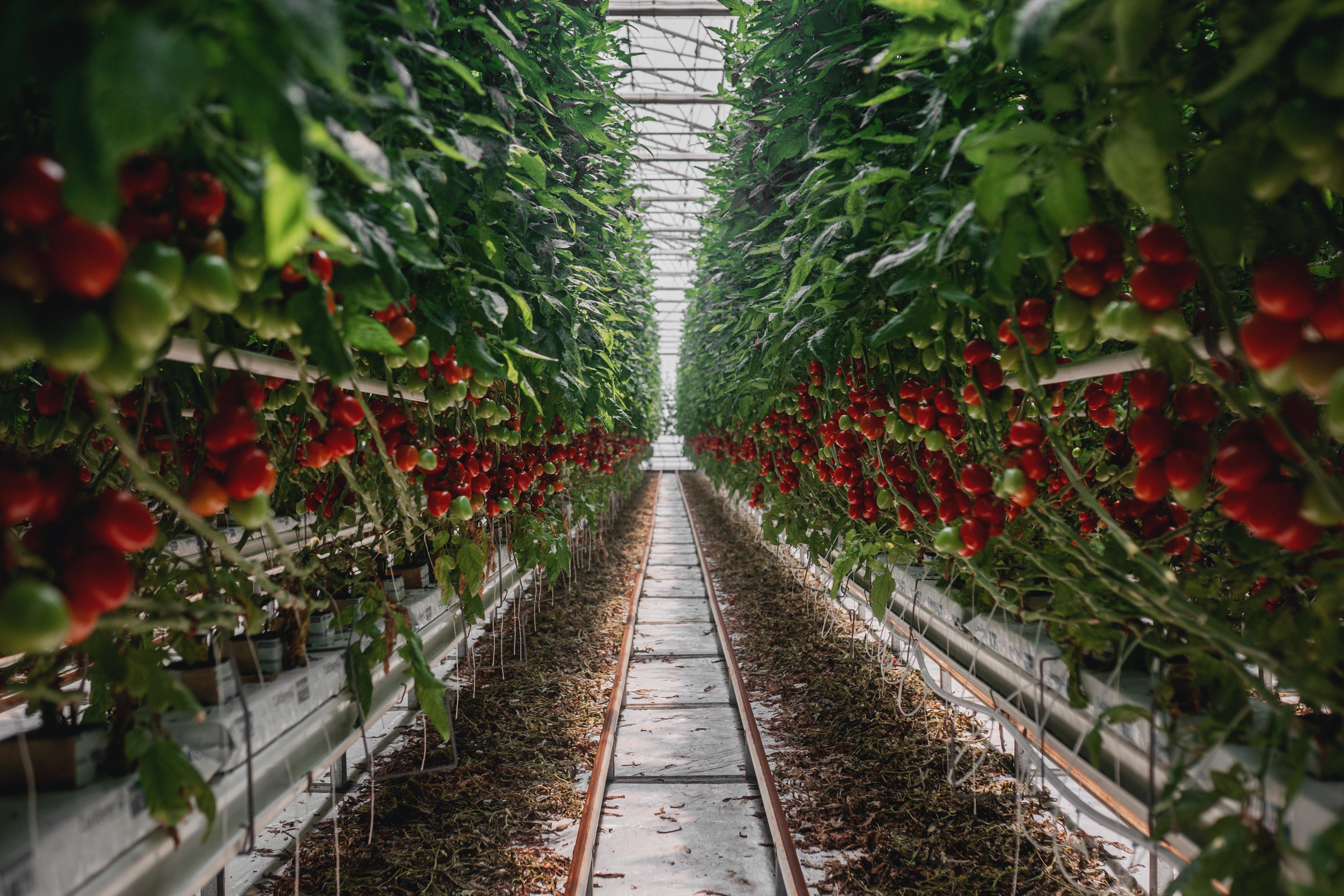 Rajčata z Ráje