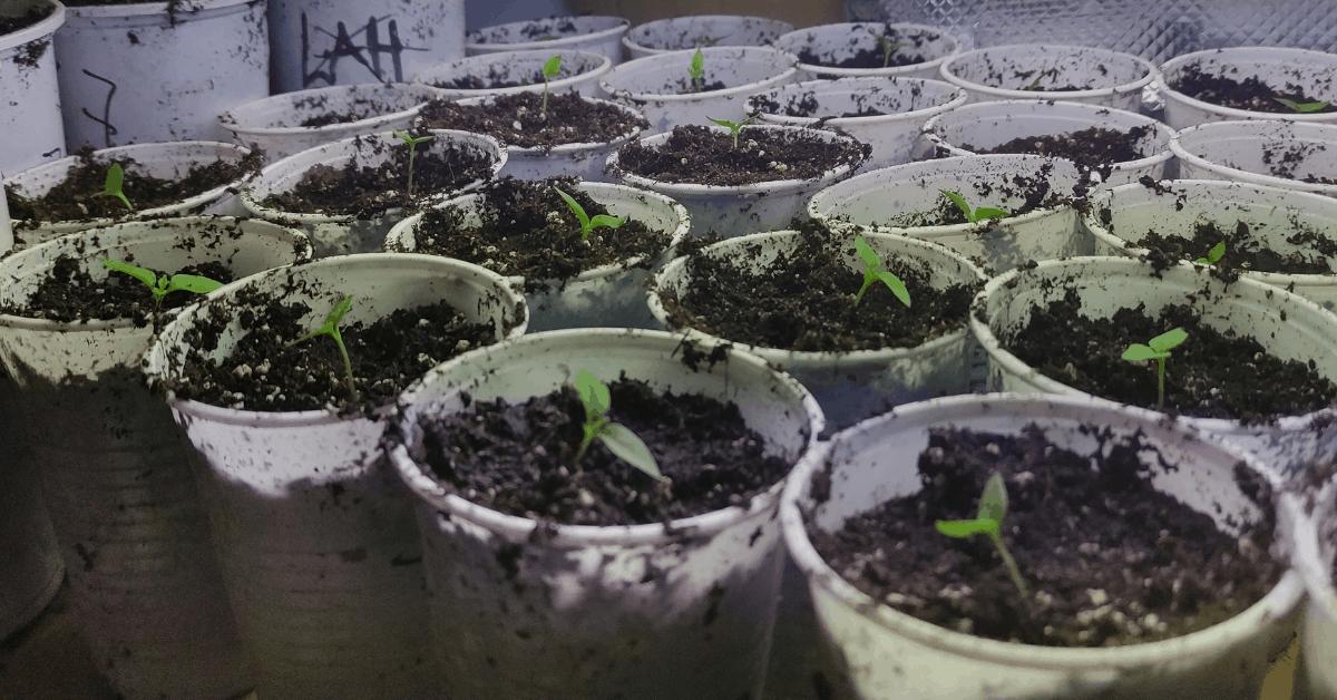 Jak si vypěstovat vlastní chilli - část 2.: Přesazování