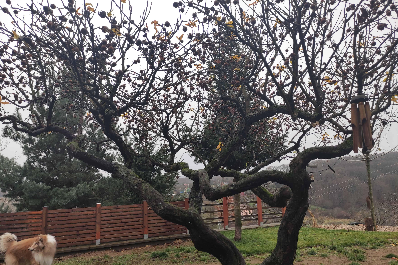 ovocný_strom_mišpule_německá_u_Brna