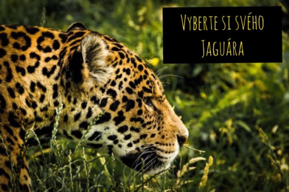 Guayusa (wayusa) BIO, jaguár