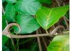 Kočičí dráp - vilcacora bylina