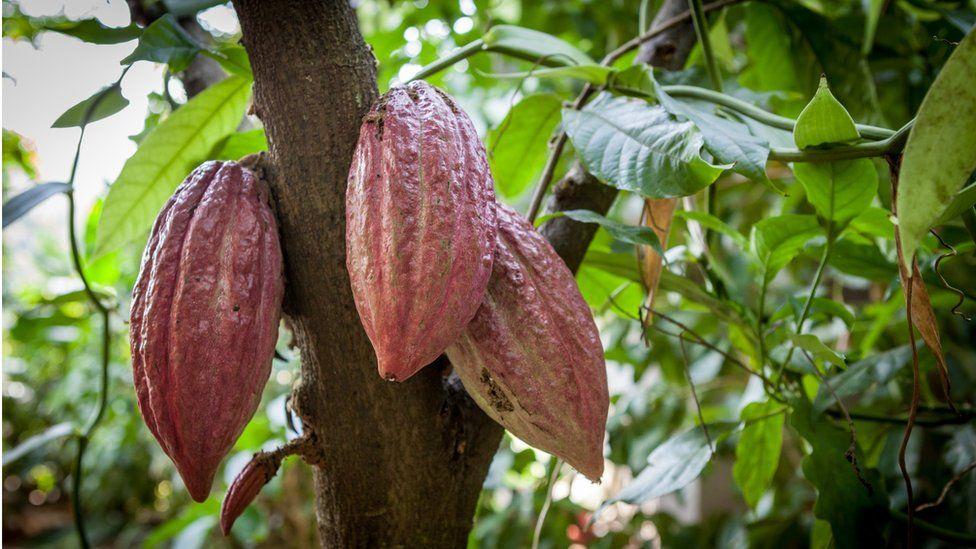 Kakaové boby 2