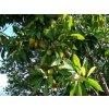 strom lúcuma
