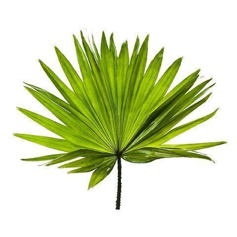 Saw palmeto - Serenoa plazivá