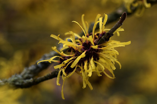 Vilin (Hamamelis)
