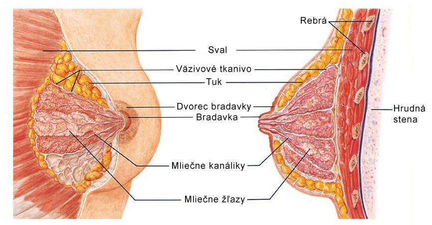 Anatómia-prsníka