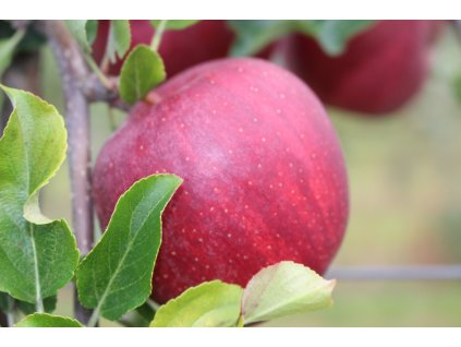 Jablka GALA - 1 kg