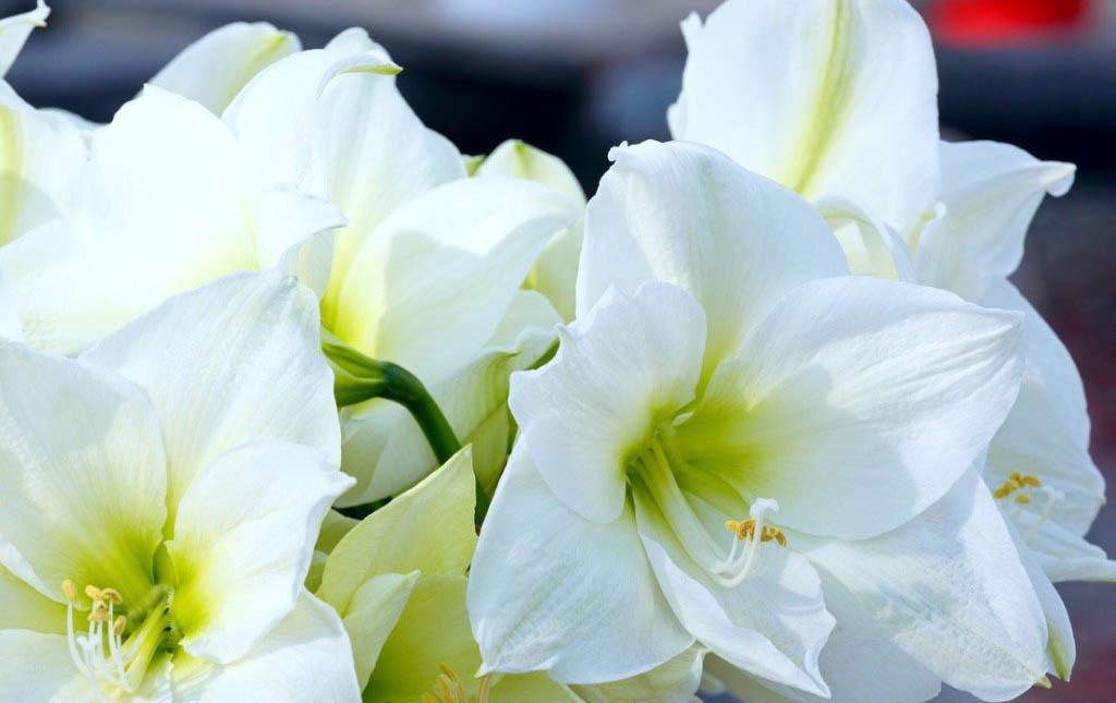 Pěstování hvězdníku: jak pěstovat hvězdník neboli amarylis, aby vám vykvetl na Vánoce