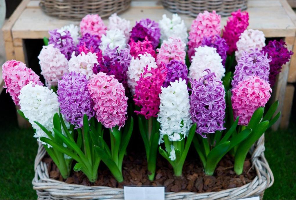 Vypěstujte si hyacinty: užijte si vůni bohatých květů i vy!