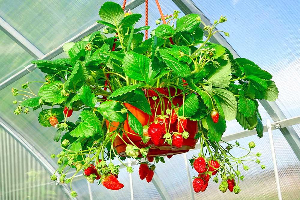 Pěstování převislých jahod v truhlíku. Zvládnu to také?