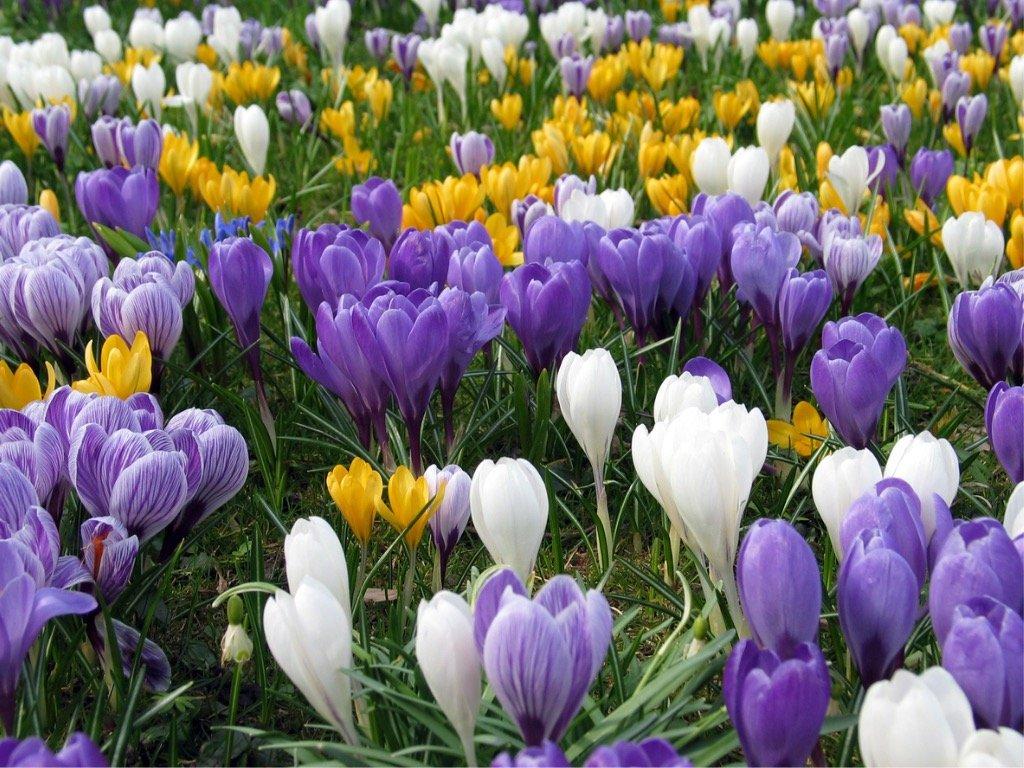 Zlatý poklad mezi rostlinami: vypěstujte si doma šafrány