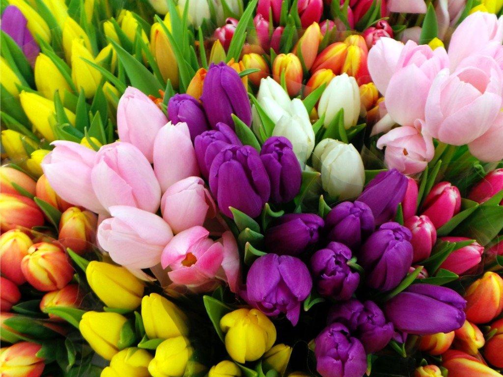 Pěstujeme tulipány: Krásné na pohled a jednoduché na péči!