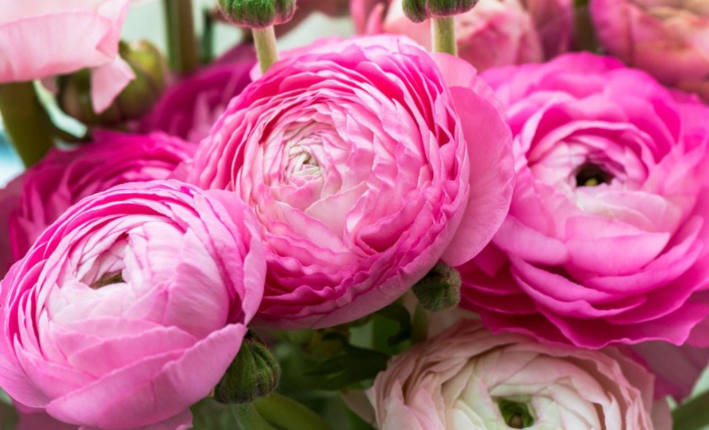 Plnokvěté pryskyřníky a jejich pěstování: Jak se starat o tyto časné jarní krásky