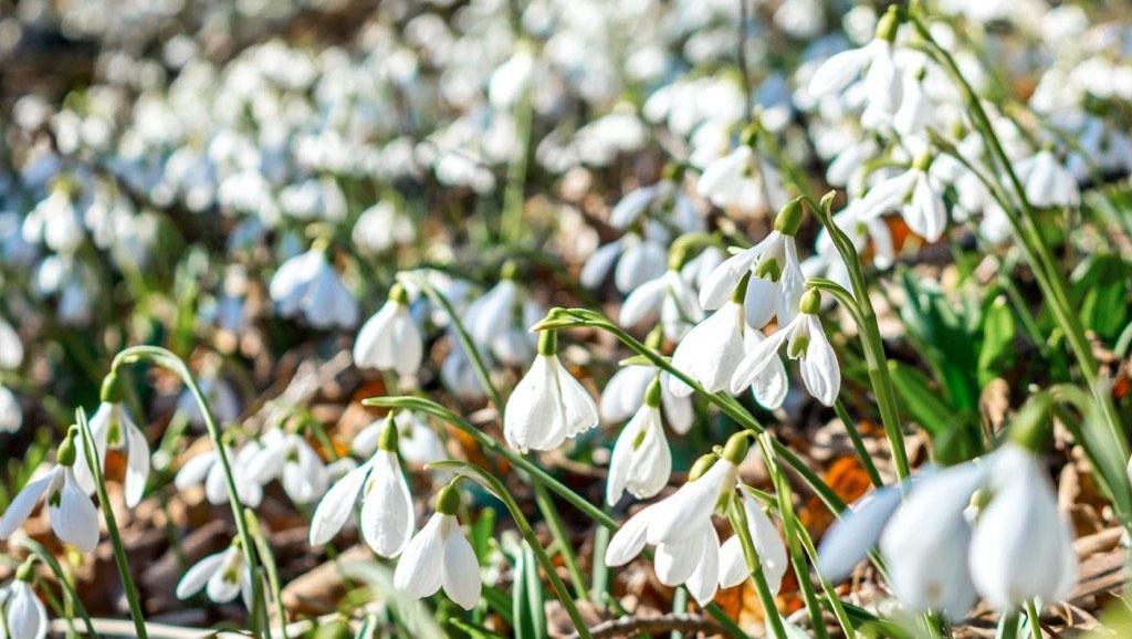 Sněženky a bledule: krásná předzvěst jara do vaší zahrady