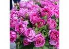 Parfuma růže