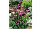 Orchideje vzpřímené - Bletilla striata