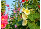 Slézové růže - Alcea