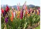Mečíky - Gladioly