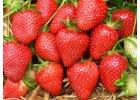 Červnové jahody